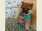 柴犬(小型・豆柴) 2019年02月18日生まれ 赤 男の子