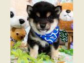 柴犬(小型・豆柴) 2019年03月15日生まれ 黒 男の子