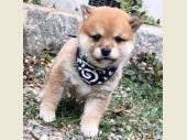柴犬(小型・豆柴) 2019年05月01日生まれ 赤 男の子