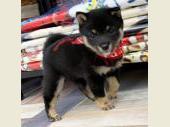 柴犬(小型・豆柴) 2019年06月12日生まれ 黒 女の子