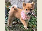 柴犬(小型・豆柴) 2019年07月07日生まれ 赤 女の子