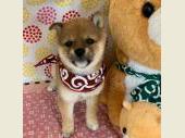 柴犬(小型・豆柴) 2019年07月19日生まれ 赤 女の子