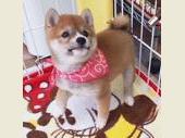 柴犬(小型・豆柴) 2019年09月06日生まれ 赤 女の子