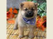 柴犬(小型・豆柴) 2019年09月07日生まれ 赤 男の子