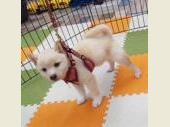 柴犬(小型・豆柴) 2019年09月11日生まれ 白(淡赤) 女の子