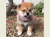 柴犬(小型・豆柴) 2019年11月27日生まれ 赤 女の子