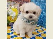 チワワ(ロングコート) 2019年12月07日生まれ クリーム 男の子