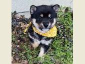 柴犬(小型・豆柴) 2020年01月30日生まれ 黒 男の子