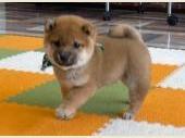 柴犬(小型・豆柴) 2020年02月19日生まれ 赤 男の子