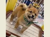 柴犬(小型・豆柴) 2020年04月06日生まれ 赤 男の子