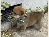 柴犬(小型・豆柴) 2020年05月03日生まれ 赤 男の子