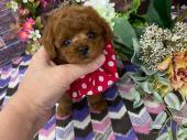 トイプードル 2020年05月05日生まれ レッド 女の子