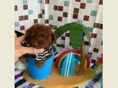 トイプードル 2020年05月18日生まれ レッド 男の子