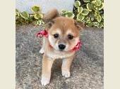柴犬(小型・豆柴) 2020年09月12日生まれ 赤 女の子