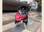 柴犬(小型・豆柴) 2020年09月24日生まれ 黒 女の子