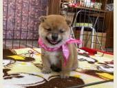 柴犬(小型・豆柴) 2020年10月01日生まれ 赤 女の子