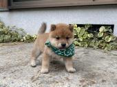 柴犬(小型・豆柴) 2020年09月25日生まれ 赤 男の子