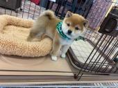 柴犬(小型・豆柴) 2020年10月25日生まれ 赤 男の子
