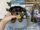 ヨークシャー・テリア 2021年02月17日生まれ スチールブルー&タン 男の子