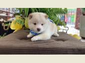 柴犬(小型・豆柴) 2021年03月09日生まれ 白 男の子