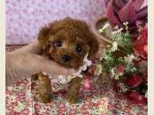 トイプードル 2021年02月27日生まれ レッド 女の子