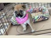 柴犬(小型・豆柴) 2021年06月06日生まれ 胡麻 女の子