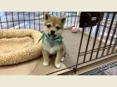 柴犬(小型・豆柴) 2021年08月18日生まれ 赤 男の子