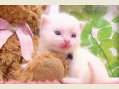 ラグドール 2017年04月12日生まれ クリームバイカラー 女の子