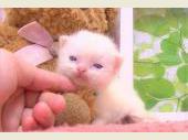 ラグドール 2017年04月12日生まれ クリームバイカラー 男の子