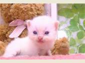 ラグドール 2017年04月13日生まれ クリームバイカラー 男の子