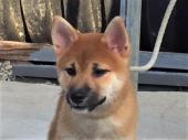 柴犬 2017年06月08日生まれ 赤 男の子