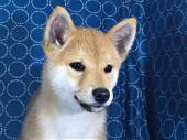 柴犬 2017年07月21日生まれ 赤 男の子
