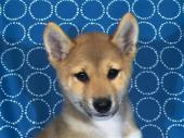 柴犬 2017年07月16日生まれ 赤 男の子