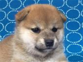 柴犬 2017年07月31日生まれ 赤 女の子