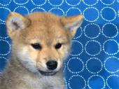 柴犬 2017年07月31日生まれ 赤 男の子