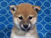 柴犬 2017年08月09日生まれ 赤 女の子