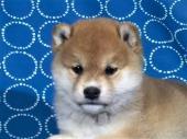 柴犬 2017年08月27日生まれ 赤 女の子