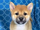 柴犬 2017年08月05日生まれ 赤 女の子
