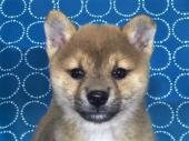 柴犬 2017年08月25日生まれ 赤 男の子