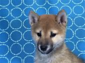 柴犬 2017年08月26日生まれ 赤 女の子
