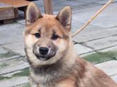 柴犬 2017年08月13日生まれ 赤 男の子