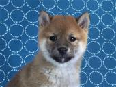 柴犬 2017年10月06日生まれ 赤 女の子