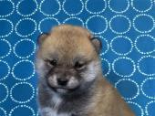 柴犬 2017年10月14日生まれ 赤 女の子