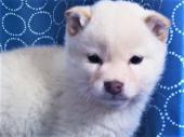 柴犬 2017年12月01日生まれ 白 男の子