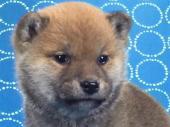 柴犬 2017年12月02日生まれ 赤 男の子