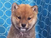 柴犬 2017年12月02日生まれ 赤 女の子