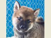 柴犬 2018年05月28日生まれ 赤 男の子