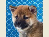 柴犬 2018年05月31日生まれ 赤 男の子