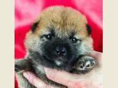 柴犬 2018年06月26日生まれ 赤 女の子