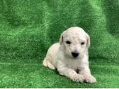 スタンダード・プードル 2021年04月14日生まれ ホワイト 男の子